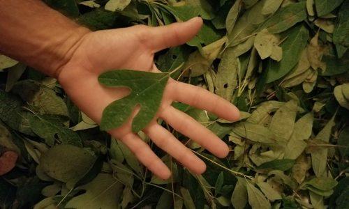 Sassafras leaf_A