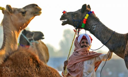 Indian traders gathered to sale their camels at Pushkar Camel Fair 2018 ,in Pushkar, Rajasthan , India , Nov 20,2018. Thousands of livestock traders from the region come to the traditional camel fair where livestock, mainly camels, are traded. This annual five-day camel and livestock fair is one of the world's largest camel fairs.(Photo By Vishal Bhatnagar/NurPhoto via Getty Images) (Photo by Vishal Bhatnagar/NurPhoto via Getty Images)